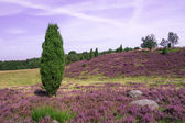 Lueneburg Heath — Stock Photo
