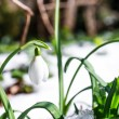 Snowdrops — Stock Photo #37142529