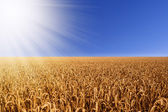 Wheat field with sunbeams — Stock fotografie