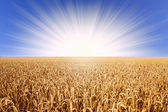 Wheat field in sunlight — Stock Photo