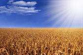 Campo de trigo com chuva e sol — Foto Stock