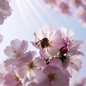 Wasp on japanese cherry tree — Stock fotografie