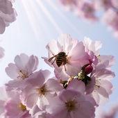 Wasp on japanese cherry tree — Stockfoto