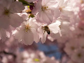 Wasp on japanese cherry tree — Stockfoto