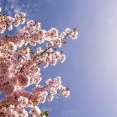 Cerejeira japonesa — Foto Stock
