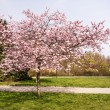 Stock Photo: Japanese cherry tree