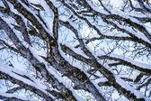 Gałęzie ze śniegu — Zdjęcie stockowe