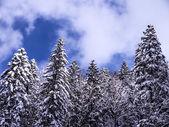 Jodła las — Zdjęcie stockowe