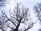 Tree without leaves — Stock Photo