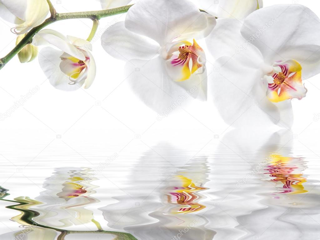 Fiore orchidea foto stock spcreative 37234691 for Orchidea acqua