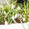Snowdrops — Stock Photo #37242013