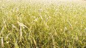 Barley field background — Stock Photo