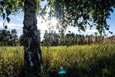 Birch tree on meadow — Stock Photo
