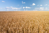 Wheat field and wind generator — Stock Photo