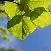 Hojas verdes y cielo azul — Foto de Stock