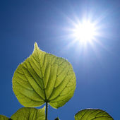 Leaves and the sun — Stock Photo