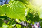 ветвь с листьями и солнце — Стоковое фото