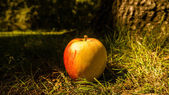 Apple sul suolo della foresta — Photo