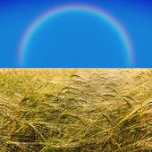 Rainbow and barley field — Stock Photo