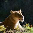Lioness enjoying the sun — Stock Photo