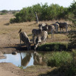 Waterhole gathering — Stock Photo