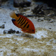 Flame angelfish — Stock Photo #36631737
