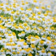 Stock Photo: Camomile field.