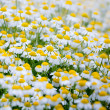Camomile field. — Stock Photo
