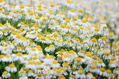 Camomile field. — Stock Photo