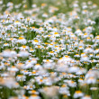 Camomile field — Stock Photo #37869493