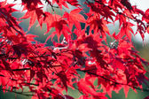 Red autumn leaves — Stock Photo