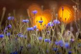 Blooming cornflower — Stock Photo