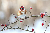 European Goldfinch with frozen red rose hips — Stock Photo