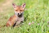 Red fox cub. — Stock Photo