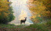 Young red deer on autumn background — Stock Photo