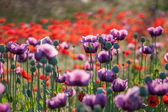 Poppies field — Stock Photo