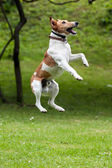 Dog jump into the air — Stock Photo