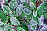 Hojas congeladas. — Foto de Stock