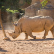 Stock Photo: Black Rhinoceros
