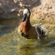 White-faced Whistling Duck (Dendrocygna viduata) — Stock Photo