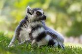 Brown Mouse Lemur (Microcebus rufus) — Stock Photo