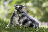 棕色的老鼠狐猴 (microcebus 鲁弗斯) — 图库照片