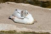 Pink pelicans — Stock Photo