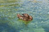 Duck in zoo — Stock Photo
