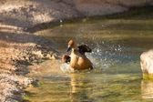 Биколор, бурые Dendrocygna свистящие утки — Стоковое фото