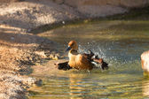 Dendrocygna bicolor, Fulvous Whistling Duck — Stock Photo