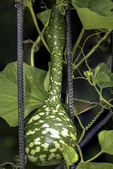 Bottle gourd(Lagenaria siceraria) — Stock Photo
