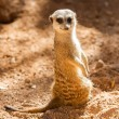 wild meerkats — Stock Photo