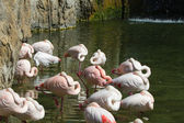 Flamant rose — Photo