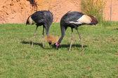 Black-crowned Crane - Balearica pavonina — ストック写真